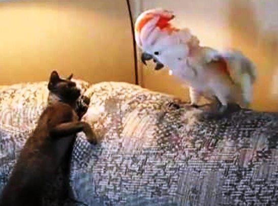 Хитрый попугай научился мяукать и шипеть. А что делать, жизнь заставит!