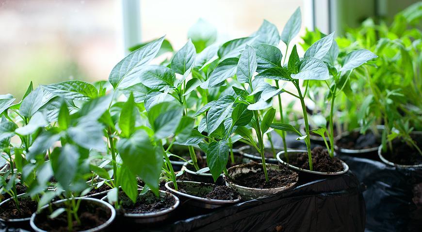 Посадка и выращивание рассады болгарского перца в домашних условиях. Подготовка семян болгарского перца к посеву на рассаду, посев, пикирование и высадка рассады в парник, теплицу и грунт