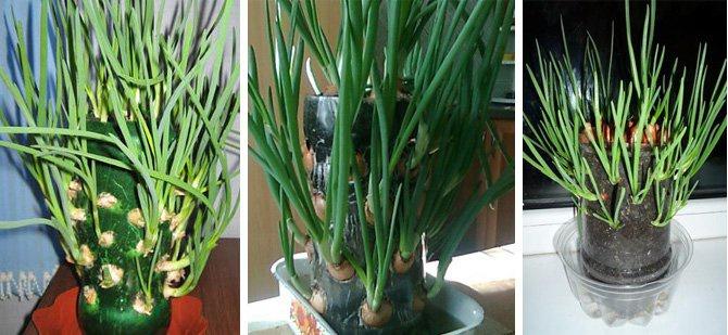 Как вырастить зеленый лук в бутылке на подоконнике