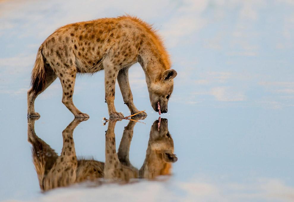 С такого ракурса кажется, что гиена ходит по поверхности воды