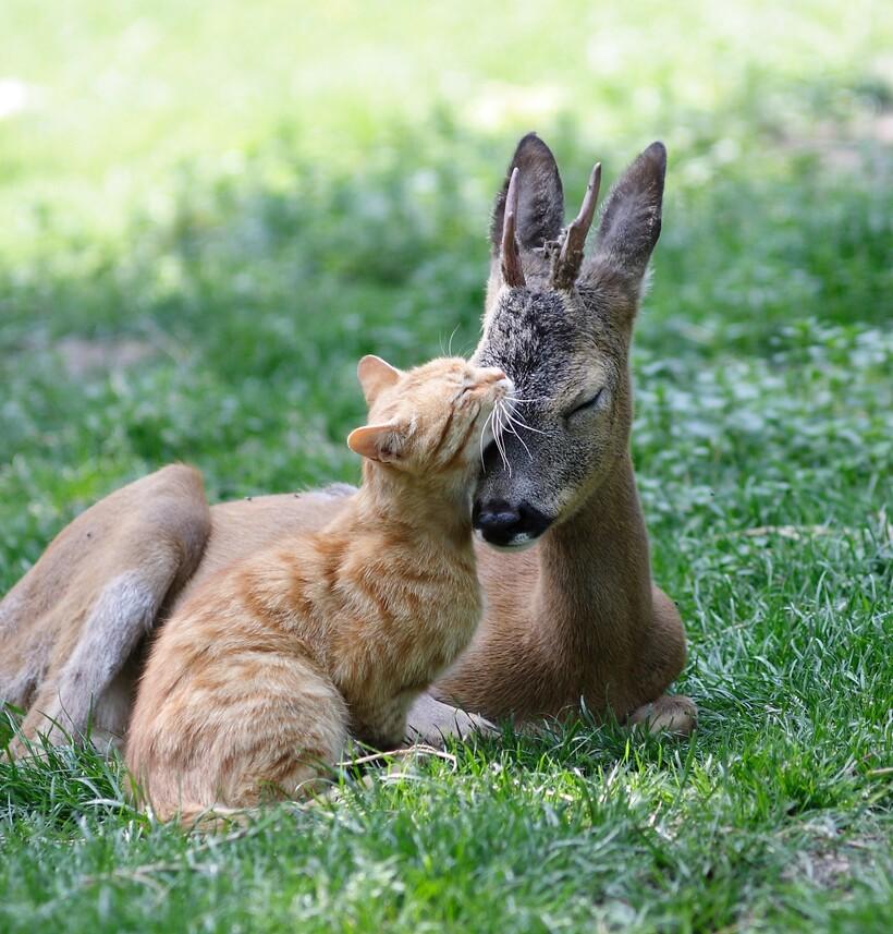 15 очаровательных случаев, когда коты и собаки заводили дружбу с дикими животными домашние животные,наши любимцы