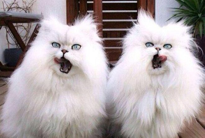 Малоизученный, но отчаянно смешной факт - кошки умеют синхронизироваться