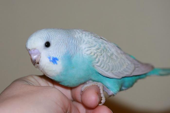 Потерявшийся попугай сообщил полиции свой домашний адрес, чтобы его вернули домой