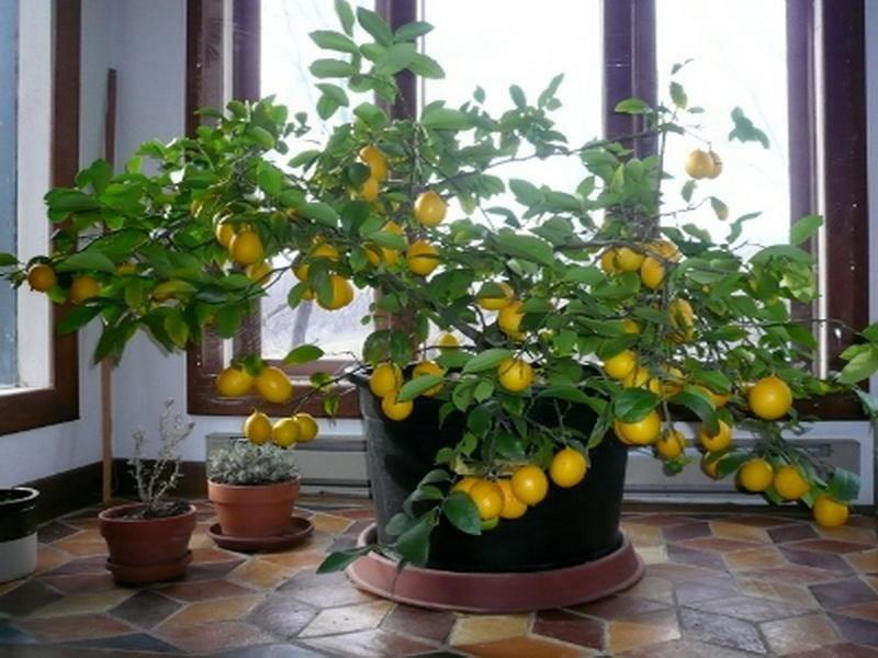 Лимон  Оптимальные условия для выращивания