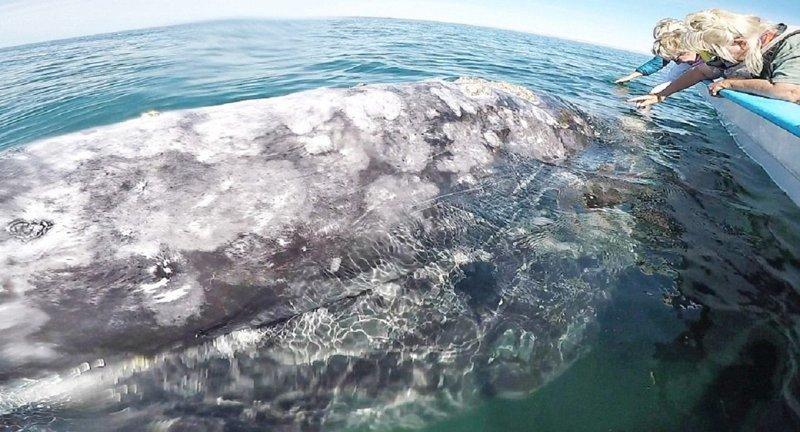 Сказочная Мексика: 14-метровая самка серого кита позволила туристам погладить себя