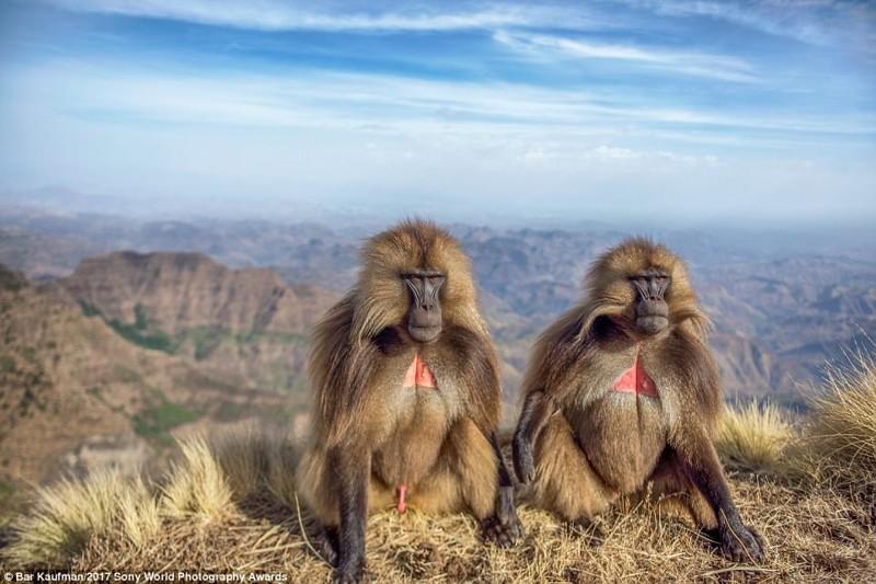 Философы. Бабуины в эфиопских горах искусство, конкурс, красота, фото