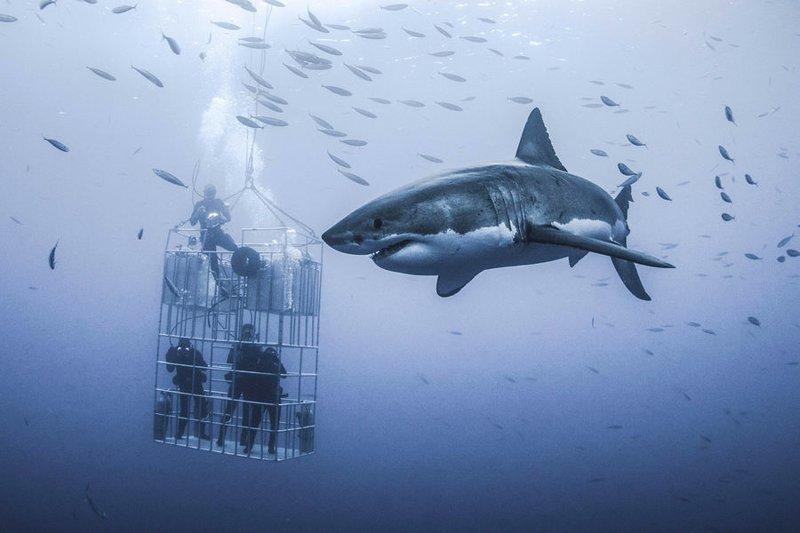 Дайверы в клетке едва не стали завтраком для гигантской белой акулы