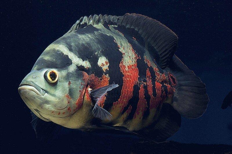 Еще одни представители семейства рыб, имеющие ярко выраженные глоточные челюсти - цихлиды интересное, природа, рыбы, факты, челюсти, чужие