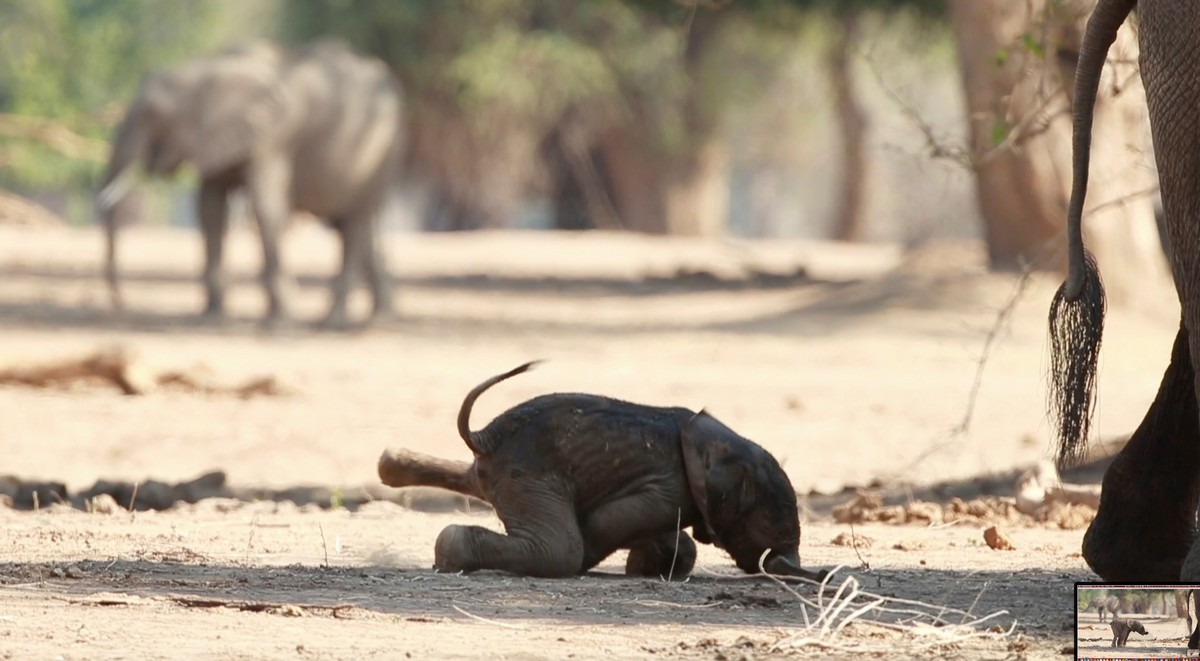 Трогательные кадры: новорожденный слоненок делает первые шаги