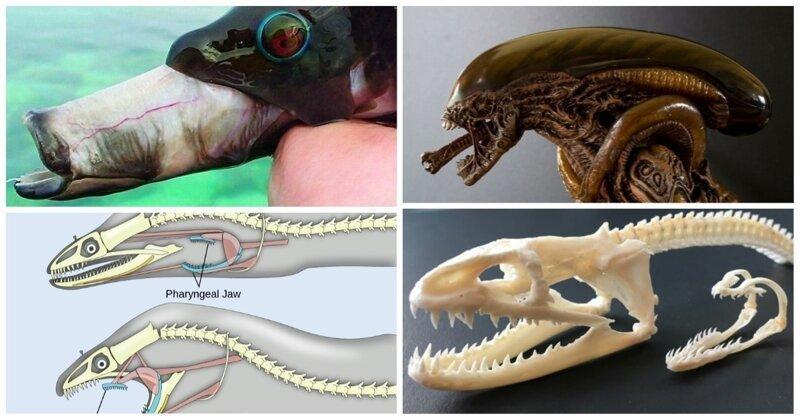 Ксеноморфы нашей планеты: у кого Кэмерон  подсмотрел как будут выглядеть Чужие интересное, природа, рыбы, факты, челюсти, чужие