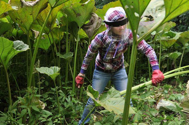 Вторжение чужих на грядки. Чем опасны занесённые к нам виды растений?