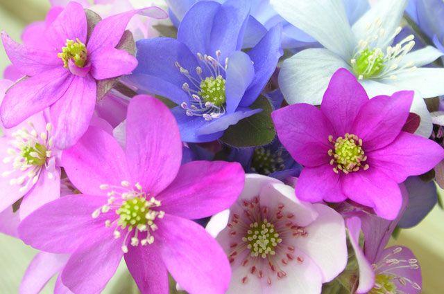 Ветреница лесная: фото и описание цветов