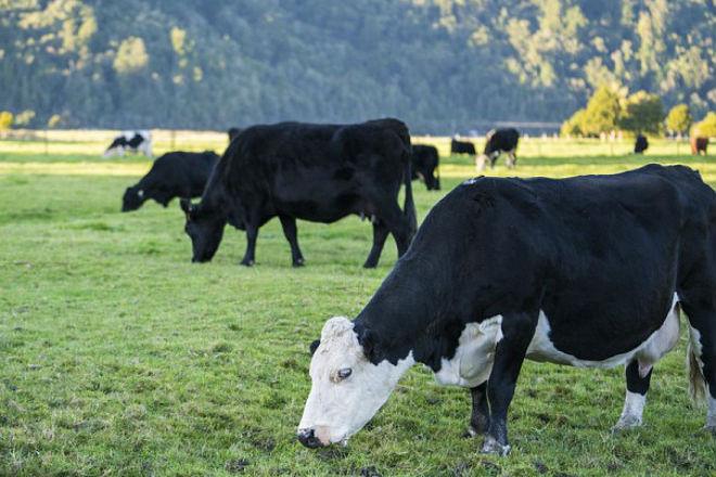Корова: ученые назвали самое опасное существо Австралии