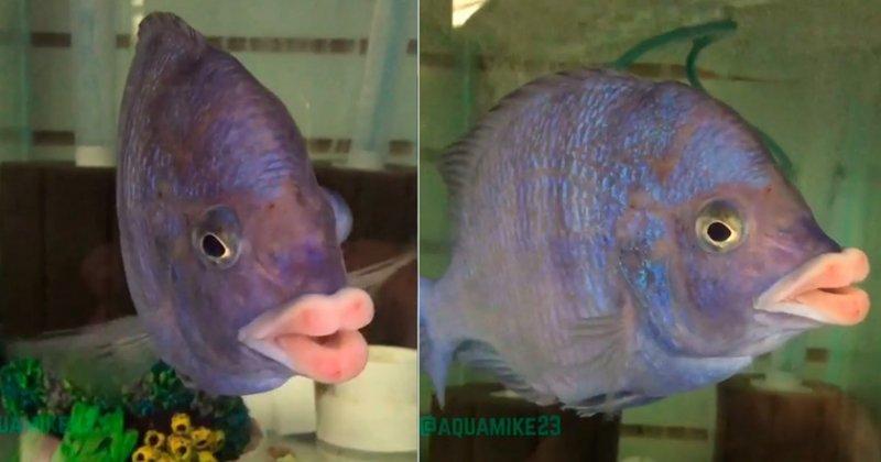 В озере Малави поймали рыбу-поцелуйника! африка, губы, животные, озеро Малави, рыбы, странные животные, удивительное рядом, чудеса природы