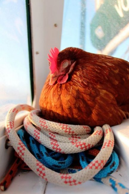 Молодой француз путешествует по свету с курицей (15 фото)