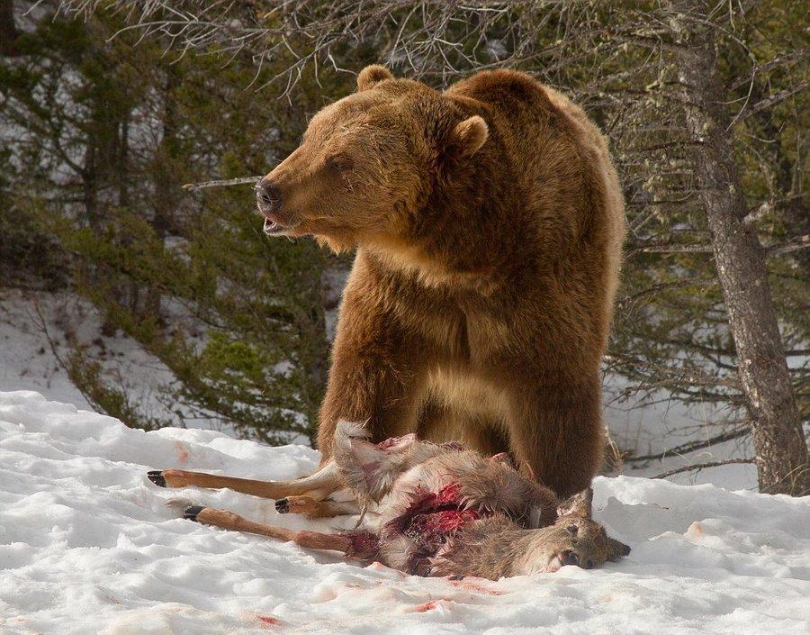 волк медведь фото сделать сюжеты