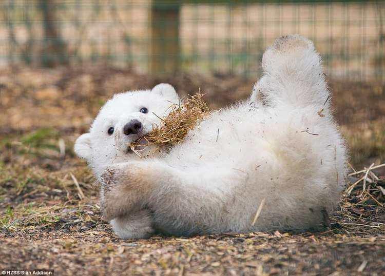 В Шотландии впервые за четверть века родился белый медвежонок