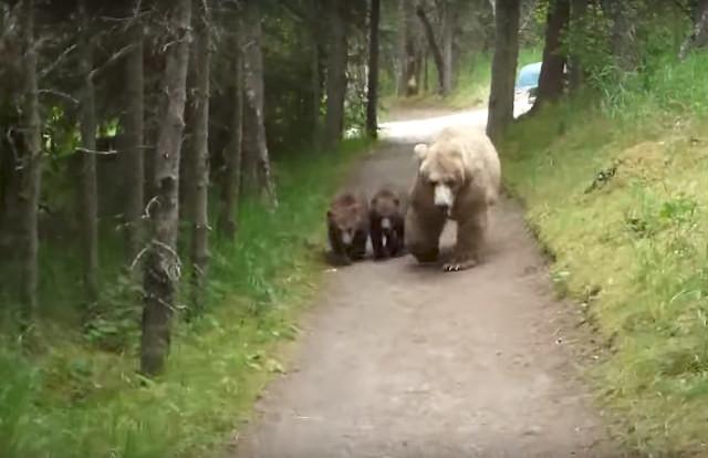 Медведица с медвежатами преследовала мужчину по дороге к лагерю