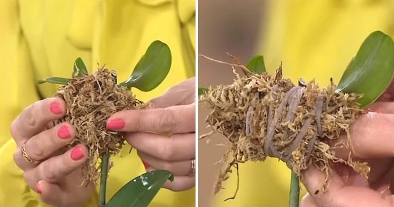Одна орхидея может стать сотней благоухающих цветков: секреты рассады растения