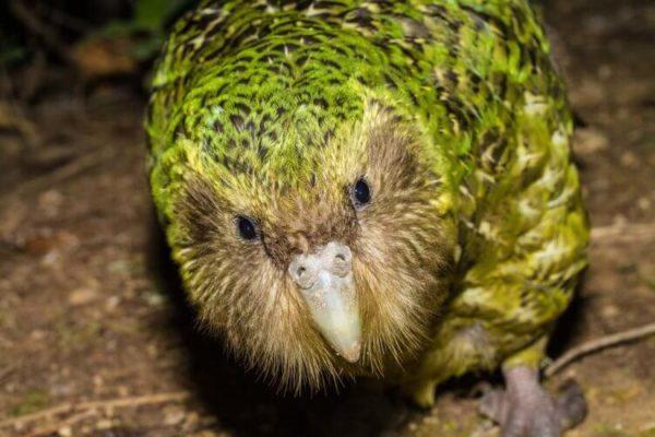 Вымирающий попугай Какапо и птица Киви, что вы знаете о них?