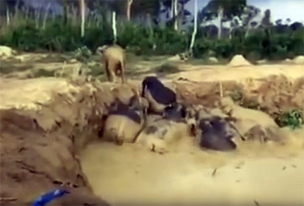 Спасатели вытащили слонов из ямы, оставленной взорвавшейся бомбой