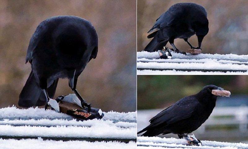 Угостите ворону конфеткой - и она продемонстрирует свой недюжинный ум!