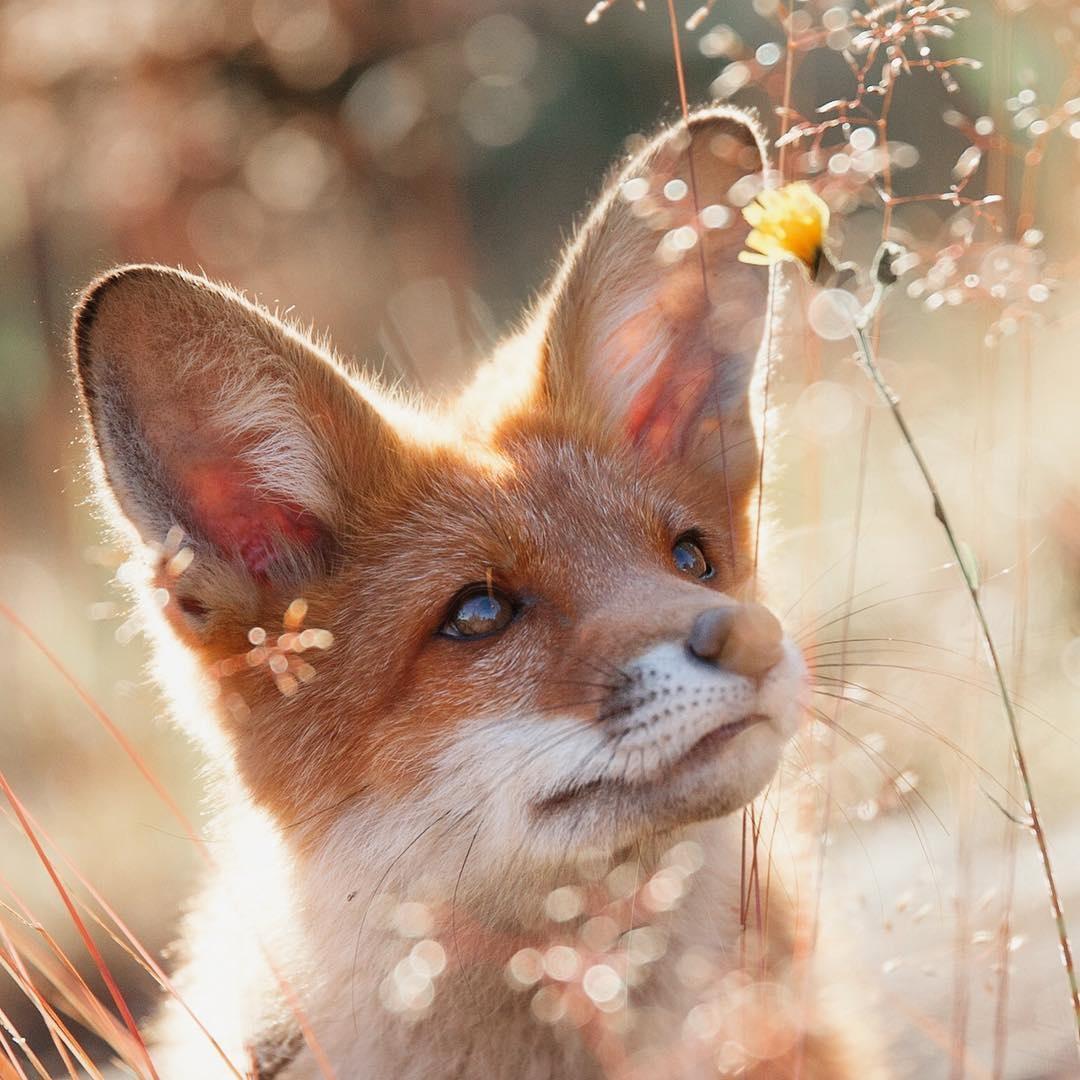 конструкция, картинки с лисичками милые прикольные вылезать кожи вон