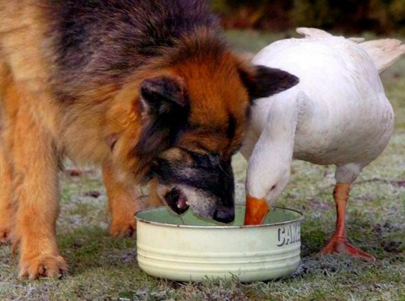 Эта отважная гусыня спасла агрессивного пса от усыпления!