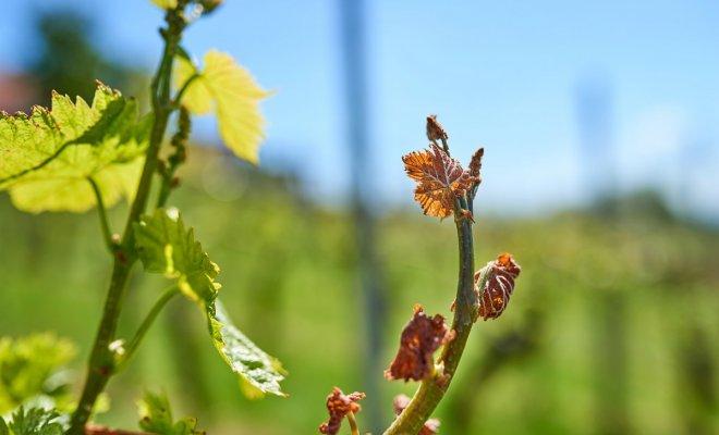 : Замерзшие побеги винограда весной