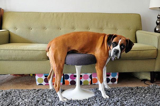 25 невероятно смешных фото героической борьбы котов и собак с человеческой мебелью