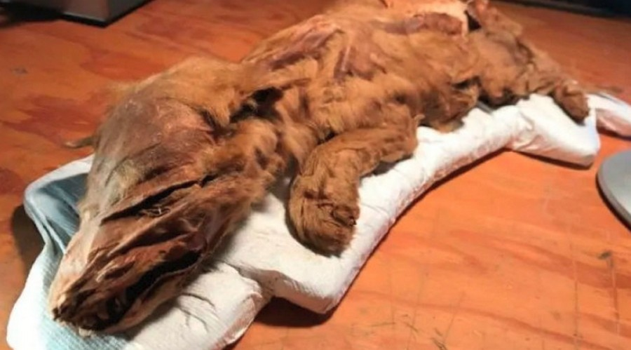 Единственный мумифицированный волк времен ледникового периода