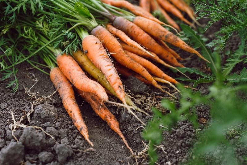 Вся польза моркови вот в этой части…