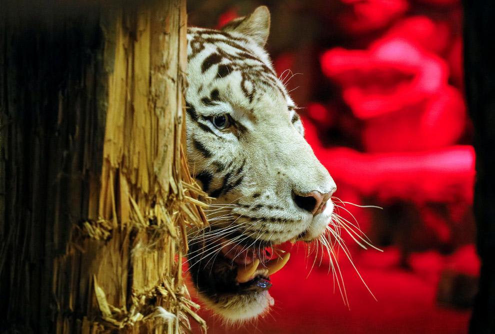 Тигр необычный картинки