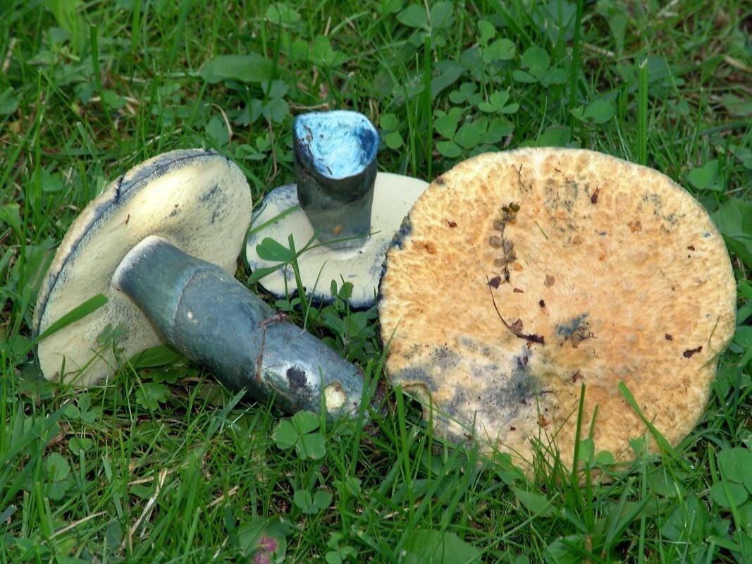 Гриб-синяк. Синеет от страха ножа грибы,интересное,растения