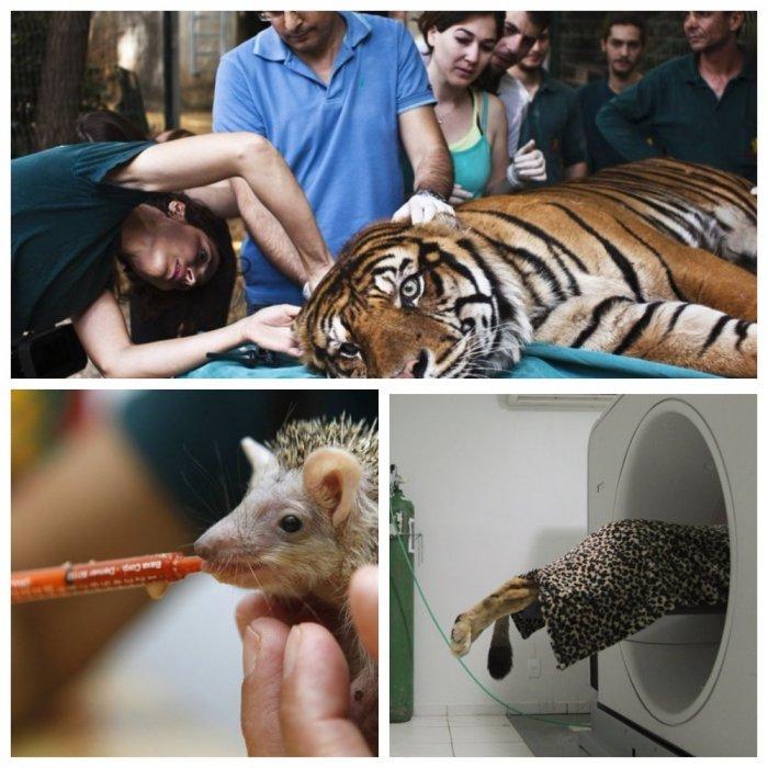 Без помощи людей эти дикие звери бы погибли