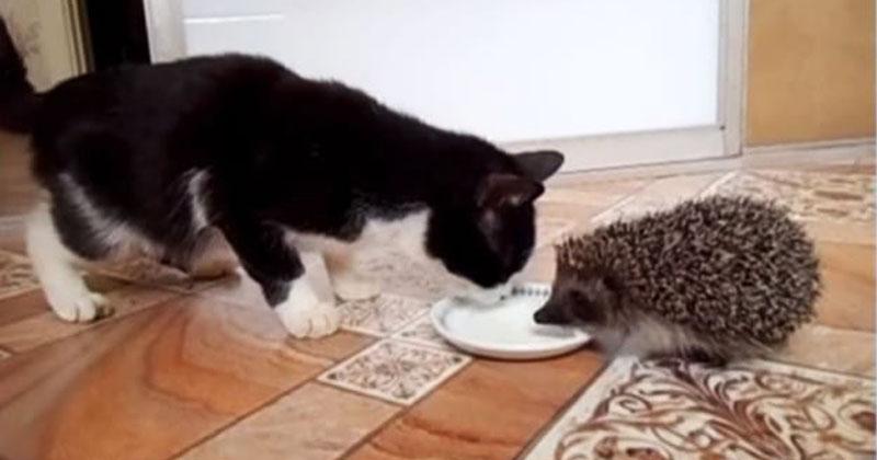 Жадный еж не хочет делиться молоком. Однако этот предприимчивый кот нигде не пропадет!