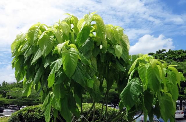 Пизония: смертельно-опасное дерево
