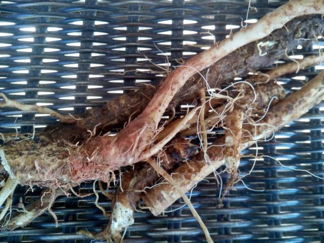 Цикорий — сорняк, который заменит кофе и поможет похудеть лекарственные растения,народная медицина,похудение,сад и огород,цикорий