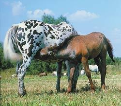 Феромоны играют важную роль во взаимоотношениях матери и детенышей.