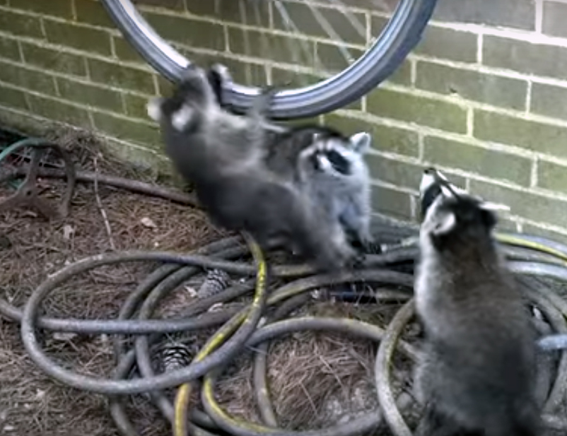 Три озорных енота подрались из-за колеса велосипеда