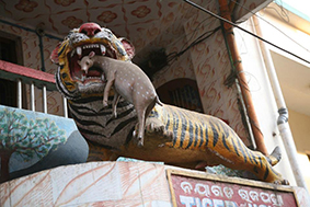 Тигр кушает ягнёнка