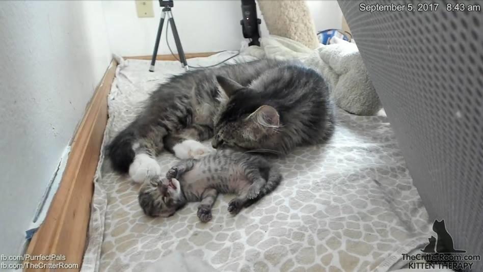 Эта кошка удивила всех! О таких странных сюрпризах беременности вы ещё не слышали…