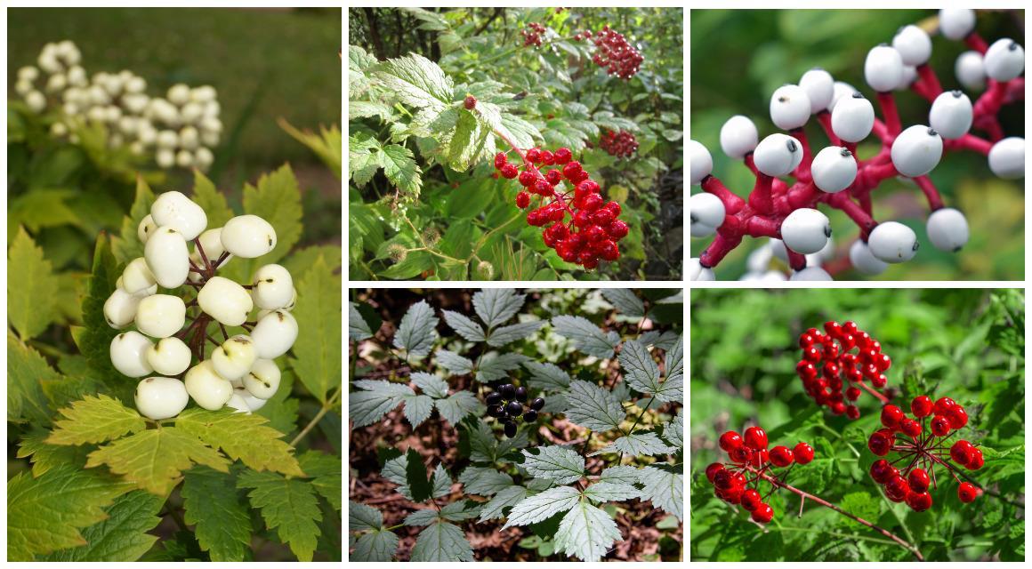 Многолетники с яркими плодами в осеннем саду дача,сад и огород,цветоводство