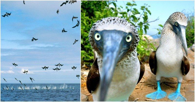 Воздушная атака: более 100 голубоногих олуш одновременно ныряют в воду