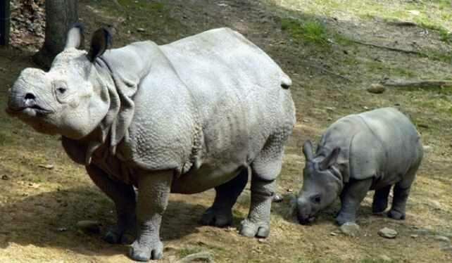Редкие и исчезающие животные: Суматранский носорог (Dicerorhinus sumatrensis) дикая природа, животные, красная книга, редкие животные