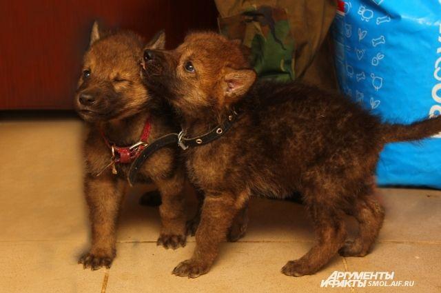 В Смоленске собака выкармливала осиротевших волчат