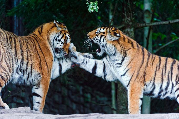 Пять с минусом — плохая оценка: правила воспитания «родителей-тигров»
