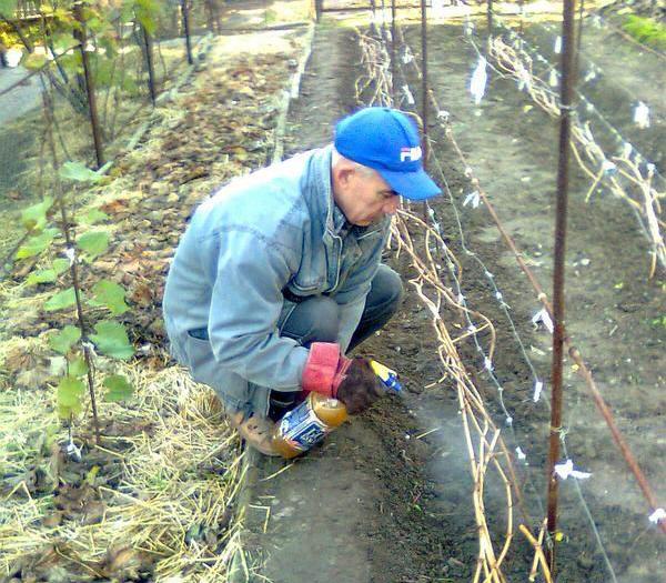 Что необходимо сделать на винограднике весной