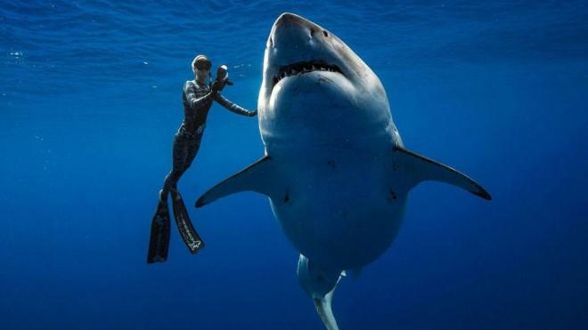 Большая белая акула впервые …
