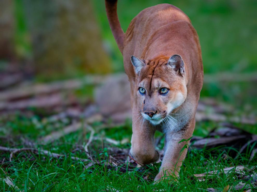 Самые редкие дикие кошки